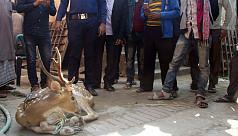 Spotted deer rescued in Pirojpur