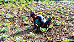 Rajshahi named country's largest vegetable...