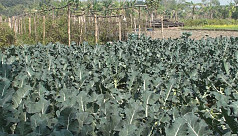 Cancer-preventing broccoli cultivation...
