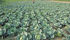Cabbage export to Singapore cheers Jessore...