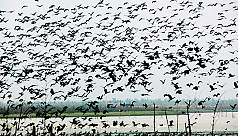 Arrival of migratory birds begins in the northern region