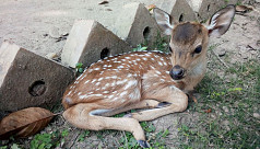 Deer gives birth in Natore...