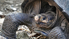 Giant tortoise thought extinct is found...