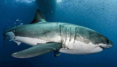 The real 'Jaws': Great white shark's...