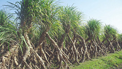 Sugarcane farming in Satkhira sees a...