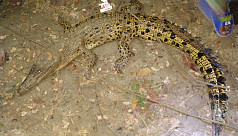 Saltwater crocodile caught from Payra...