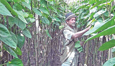 Farmers receive good prices for betel...