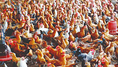 USDA: Bangladesh's poultry sector gearing...