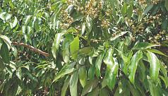 Litchi flowering makes Magura farmers...