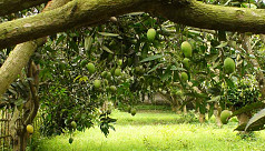 Mango orchard owners voice mixed reactions...