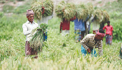 Natural pests' management becomes popular in Aman rice farming