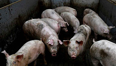 Hong Kong to cull 6,000 pigs as first...