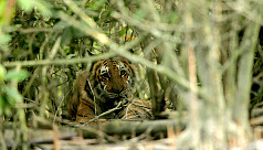 Tiger attacks 3 fishermen in...