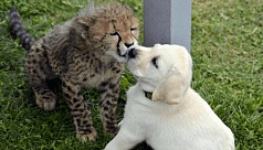 Anxious cheetahs are getting support dogs to help them relax