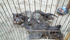 4 baby civets of rare species rescued...