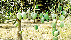 Rajshahi mango harvesting to begin May 15