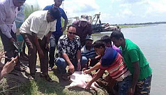 Endangered turtle released in Gorai River