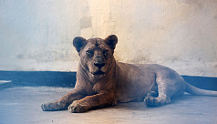 57 days on, Heera the lion is still not eating with little hope of recovery