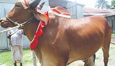 Jamalpur farmers rear 20-maund bulls...