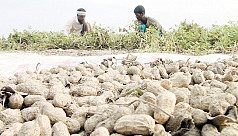 Groundnut cultivation prospers on the...