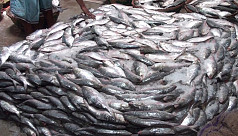 Ilish glut floods Khulna fish...