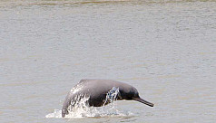 Minister: River dolphin numbers up by 55% in Sundarbans