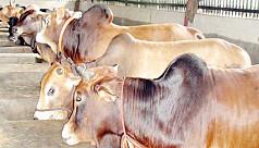 Farmers busy fattening cattle ahead...