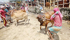 India's ban on cattle export: A blessing...