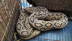 Deadly Russell viper rescued in...