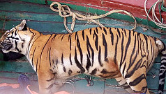 Bengal Tiger found dead in...