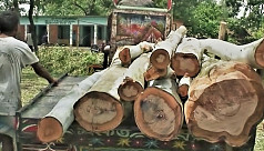Illegal felling of trees at Panchagarh...