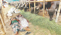 Gabtoli cattle market is yet to gain...