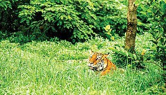 Is poaching behind low tiger population in Bangladesh?