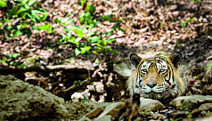 Climate change may lead to the disappearance of Bengal Tigers