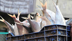 Ban on ilish catching, selling from...