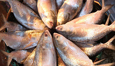 First consignment of ilish delivered...