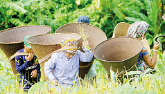 Jhum cultivation brings out robust paddy output in Bandarban