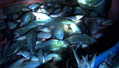 Ilish ban in Madaripur: Unscrupulous fishermen go on netting ilish