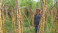 Sugarcane cultivation gaining popularity...