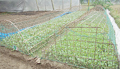 Nilphamari farmers spending busy time cultivating winter vegetables