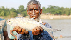 Ilish weighing 2 kg netted in Sylhet's...