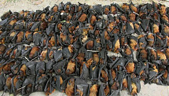 159 bats recovered in Natore, poacher...
