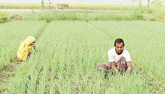 Dinajpur farmers losing interest in onion farming