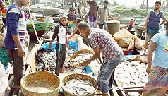 Mother ilish in abundance at Barisal...