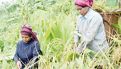 Jhum farmers start harvesting paddy in Rangamati