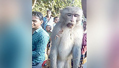 Monkey killed after it injures 35