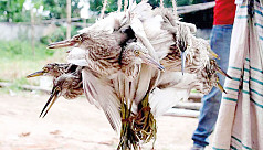 Migratory birds hunted amid restrictions in Nilphamari