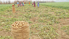 Nilphamari farmers enjoy good profits from early potato farming