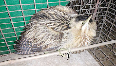 Injured rare bird rescued in...