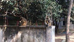 Monkeys foraging for food spotted in Mirpur of Kushtia